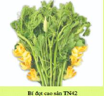 Hạt giống BÍ ĐỌT CAO SẢN TN42