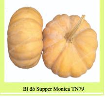 Hạt giống BÍ ĐỎ SUPPER MONICA TN79