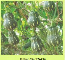 Hạt giống BÍ HẠT ĐẬU TN434