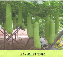 Hạt giống BẦU DÀI F1 TN95