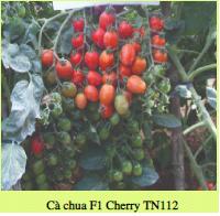 Hạt giống CÀ CHUA F1 CHERRY TN112
