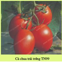 Hạt giống CÀ CHUA TRÁI TRỨNG TN99